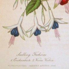fuchsia-venus-victrix