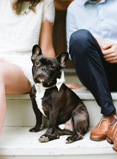 frenchie in a bow tie