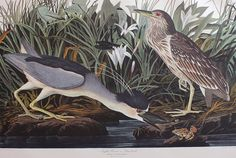 Dindon sauvage / Wild turkey : Catalogue / Catalog : John James Audubon : The Birds of America : Musée de la civilisation Audubon Prints, Audubon Birds, University Of Pittsburg, Birds Of America, Canvas Art, Canvas Prints, Bird Canvas, Framed Prints, Thing 1
