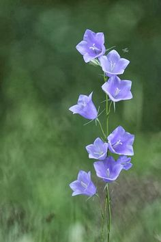 "Campanula  ✮✮Feel free to share on Pinterest"" ♥ღ www.MYVICTORIANANTIQUES.com"