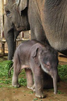 Новорожденный слоненок в Берлинском зоопарке