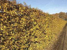 QuickHedge - Hedges deciduous, acer campestre