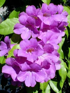 Bignonia binata: Large clusters of bright lavender purple trumpet-shaped flowers in summer and fall, glossy leaves. Full sun, average care. Evergreen climber native to Southern Mexico through South America. USDA Zones 9 - 11. Bignoniaceae