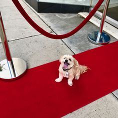 Although Latte wasn't nominated by The Academy, he remains red carpet ready!  #lattethepuppy #redcarpet #oscarsunday #oscars #academyawards #redcarpetready #starappeal #celebrity #celebritysighting #workingtheroom #velvetropes #paparazi #puparazi #awards #oscarsunday #hollywood #dogs #puppies #morkies