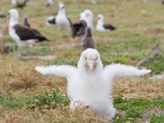 Adorable Albino Albatross Chicks Born On Midway (Pictures)