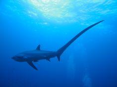 The Thresher Sharks Of Malapascua Island |