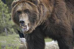 scari thing, homesteadprepperoff grid, prep emerg, bear attack, bears, how to survive, prepar, grizzli bear, russian bear