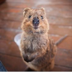 「Are quokkas the cutest animals alive?! @tyronbeer discovers they are on Rottnest Island in @westernaustralia 」