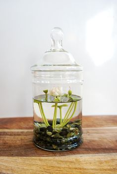 Miniature White Lotus Water Lily Terrarium by MissMossGifts