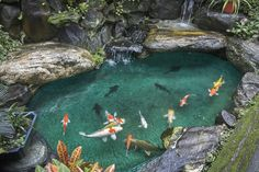 Backyard koi pond with crystal blue water.