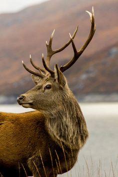 """Red Deer Stag With Antlers"" Photography by Derek Beattie"