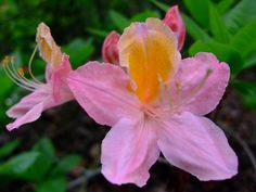 All sizes | Rhododendron | Flickr - Photo Sharing! Different Flowers, Photo And Video, Lotus, Plants, Videos, Youtube, Lotus Flower, Plant, Youtubers