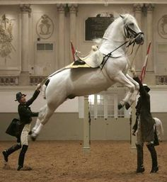 A Lipizzaner stallion of the Spanish Riding School jumps during a dress rehearsal for a gala show in Vienna.