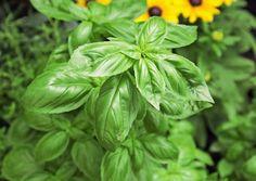 Basilikan kasvatus vaatii lämpöä, kosteutta ja kuohkean ravinteikkaan maan. Lue Viherpihan vinkit ja kasvata lähiruokaa!