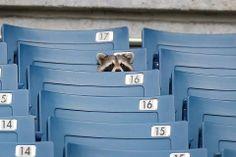 Raccoon voyeur