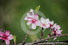 Branch pink blossoms peach flowers with bee
