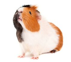 www.petclic.es la mayor tienda online de productos para #mascotas. La mayor biblioteca de contenido y consejos sobre mascotas. 1.000 consejos. 50.000 imagenes. Foto de #animales #roedores #cobaya