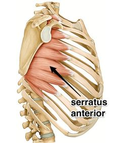 The serratus anterior muscle is a key stabilizer of the shoulder girdle. In this post we explain what this muscle is, where it's located and what it does. Yoga Anatomy, Anatomy Study, Anatomy Male, Hand Therapy, Massage Therapy, Skeletal Muscle Anatomy, Skeleton Muscles, Body Diagram, Gross Anatomy