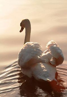 A beautiful swan. The largest known male trumpeter swan had a wingspan of just over 10 feet!