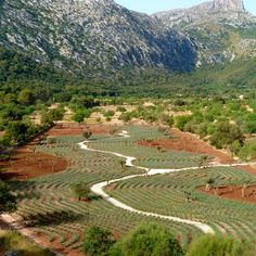 Field of 7500 lavender plants & 125 Old Olive Trees #gardendesign Mallorca #Contemporanium