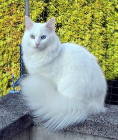 The Turkish Angora Cat Turkish Van Cats, Turkish Angora Cat, Angora Cats, Cute Kittens, Cats And Kittens, Ragdoll Kittens, Tabby Cats, Bengal Cats, Pretty Cats