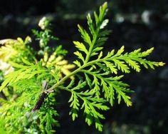 Cette Incroyable Herbe tue 98% des cellules cancéreuses en seulement 16 heures -  #artémisinine #cancer #poumon