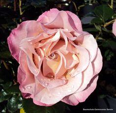 ~Edelrose Blue Girl ® Sautari ® Züchter Nirp 2008