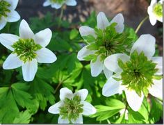 Anemone nemorosa Green Fingers group- an ephemeral with green stamens arising from center. z5