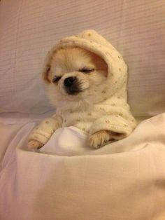 Sleepy time Chihuahua