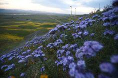 California, siccità addio: la fioritura è super