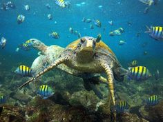 Green turtles like these pictured in the Galapagos return to the exact beach they hatched