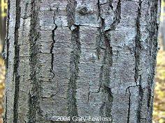 quercus nigra bark - Google Search