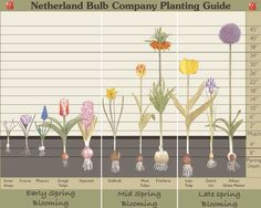 Bulb planting depth chart