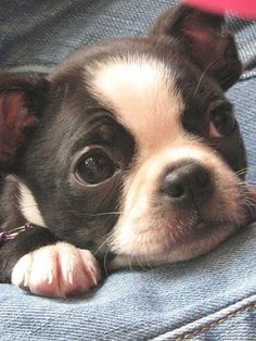 """Figure out additional info on """"boston terriers"""". Browse through our web site. Boston Terrier Costume, Boston Terrier Love, Boston Terriers, Cute Funny Animals, Funny Cats, Cute Dogs, Pugs, Terrier Breeds, Terrier Puppies"""