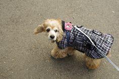 귀엽고 시크한 강아지 고양이 옷 코콜라 CoCCoLa 입니다.  위니가 입고 있는 옷은 클래식 트위드 자켓이에요. 샤넬 느낌이 나죠?  http://coccola.co.kr/
