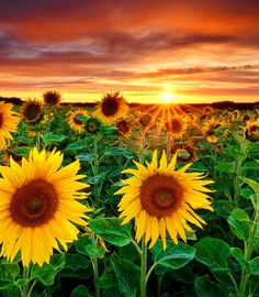 sunsets and sunflowers