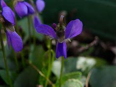 Photo : Viola hirta à double éperon (pélorie)