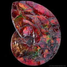 How about a festive red ammolite (Placenticeras sp.) to celebrate the solstice? Brighter days are ahead! Image courtesy of the Natural History Museum, London