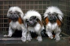 cotton-top tamarin [Credit: David Jones/AP]