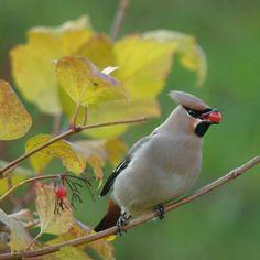 Heel vogelminnend Nederland was dit weekend in de ban van de pestvogel. Als het kouder wordt trekken deze kleurrijke vogels vanuit Scandinavië naar het zuiden. Boswachter Thijmen van Heerde spotte er een op de Veluwe.