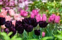 """il Tulipano Nero, conosciuto anche con il nome di """"Queen of night"""", è una delle attrattive del giardino botanico di Villa Taranto"""