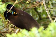 Photo of the day - Here's a very unusual image of a very rarely witnessed phenomenon – a displaying male Brown Sicklebill in all his incredible glory! Well done to Markus Lilje for capturing this amazing sight of this beautiful bird-of-paradise, which he recently photographed in Papua New Guinea.