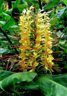 Kahili Ginger, Hawai'i Volcanoes National Park.  One of my favorite fragrances as a child.