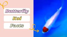 Butterfly koi fish Basic Facts To Know