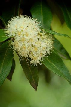 lemon myrtle (Backhousia citriodora) Smells like Lemonade Iceblocks on a hot summers day !