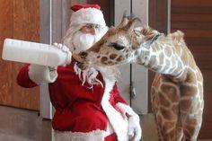 Santa Feeding Baby Giraffe