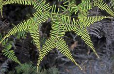 Gleicheniaceae: Gleichenia dicarpa - Pouched coral fern
