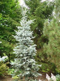 Rich's Foxwillow Pines Nursery, Inc. - Picea pungens – 'Copeland' Colorado Spruce