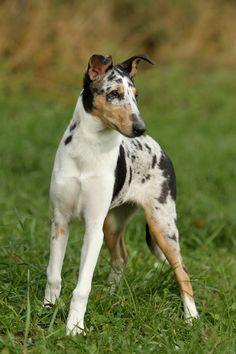 Smooth Collie dog photo | Smooth Collie | BREEDS OF DOGS