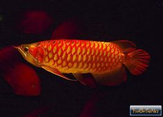 Asian Arowana,or Asian Bonytongue Dragonfish (scleropages formosus) - AQUARIUM Colorful Fish, Tropical Fish, Ancient Fish, Dragon Fish, Red Dragon, Freshwater Aquarium Fish, Fish Aquariums, Seafood Market, Fish For Sale